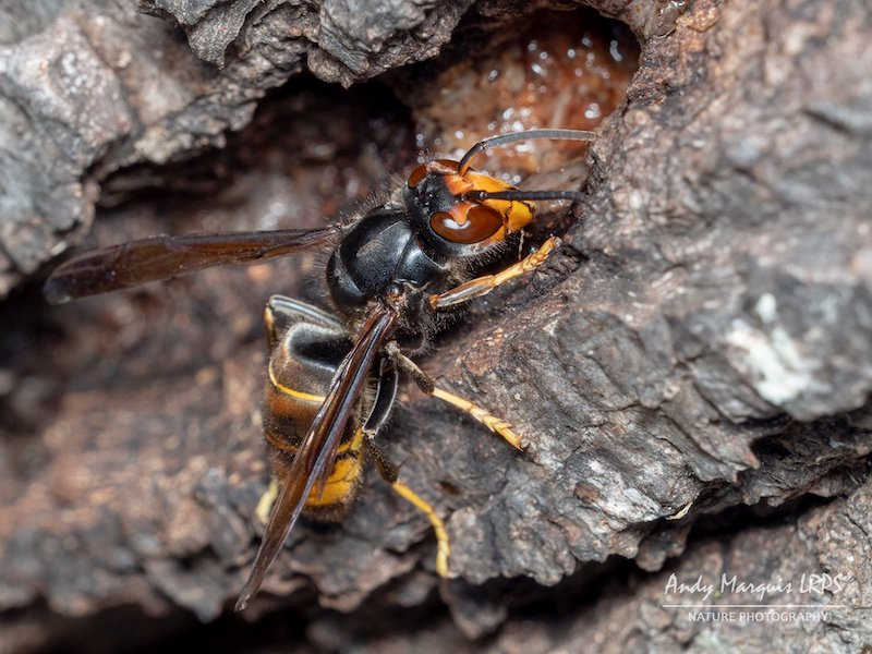 Asian Hornet credit Andy Marquis