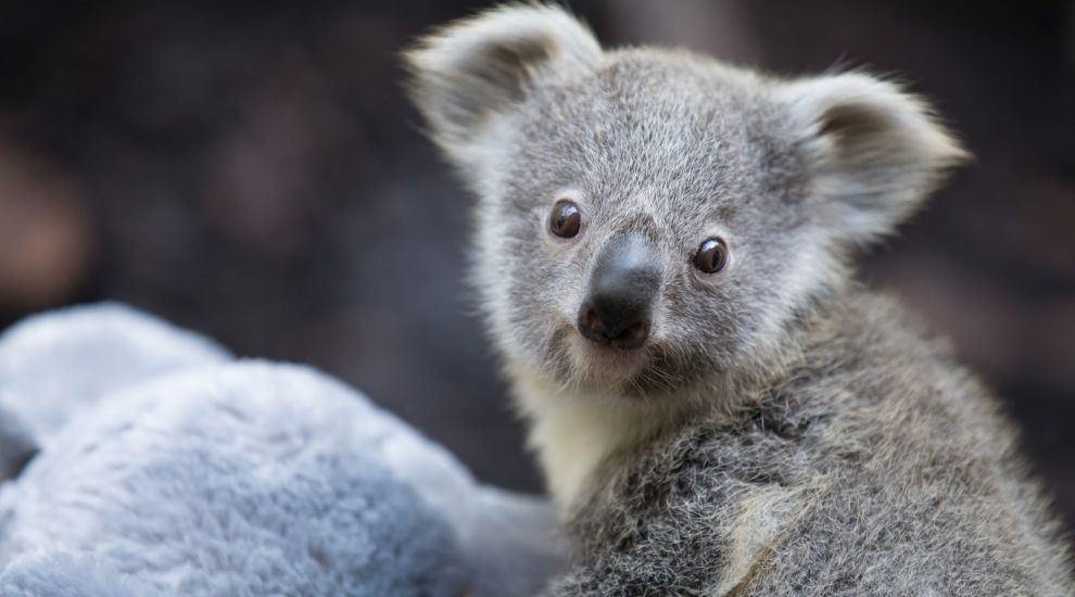 UK's only koala joey confirmed as girl in first health check