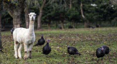 Farm in Maidenhead uses alpacas to guard its Christmas turkeys from foxes