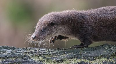 Otter genome sequenced to help conservation efforts