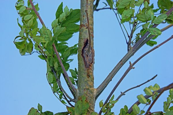 Deadly tree disease found in Guernsey