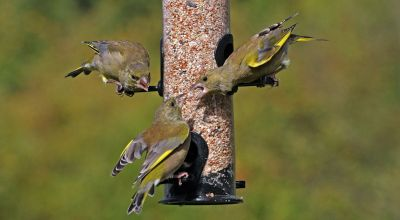 Garden feeders boost populations of birds, study suggests