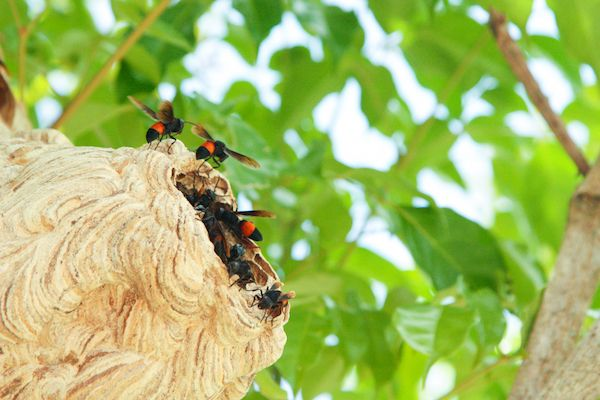 Asian hornet strategy planned