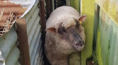 Yum Yum the 'very fat' sheep rescued after getting rammed in tight spot