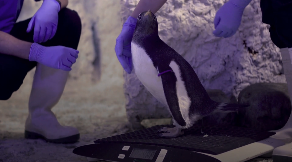 Adopted penguin chick at Sea Life London to be raised as gender-neutral