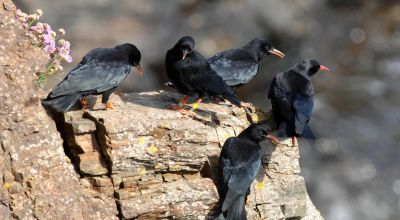 Sociable crows are healthier, research suggests