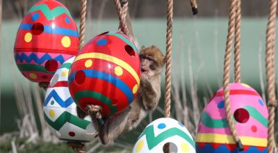 Safari park monkeys enjoy treat-filled Easter eggs