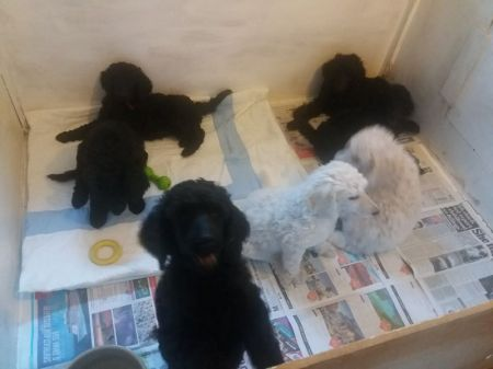 Pedigree Standard Poodle Puppy