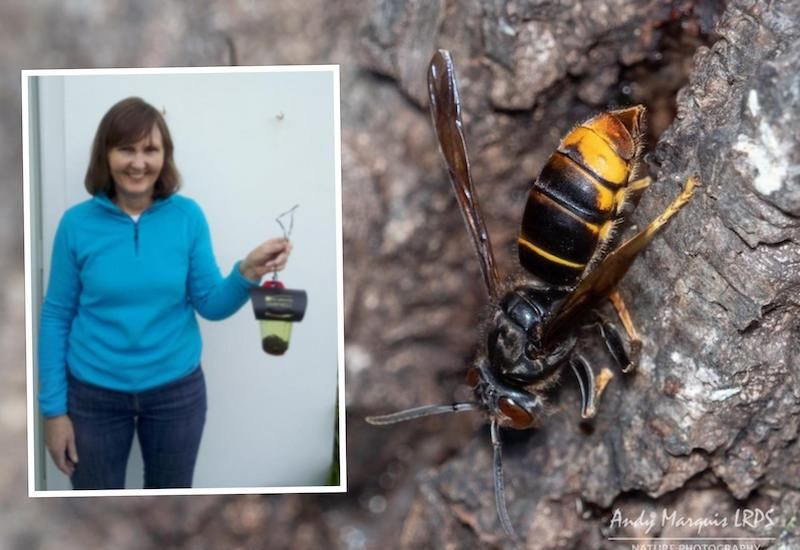 Spring Queening: First Asian Hornet caught this year