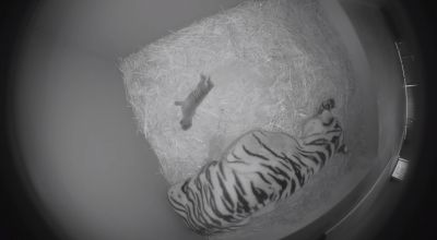 Watch: 'Gorgeous' four-week old tiger cubs bond with their mother