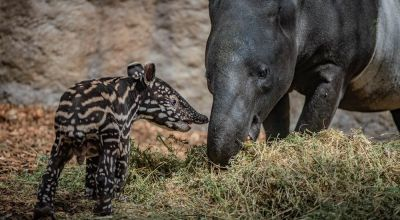 'Precious' endangered baby tapir born at Chester Zoo