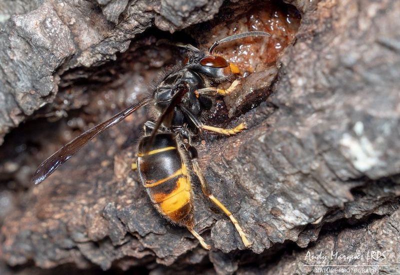 Next stage of Asian hornets project starts