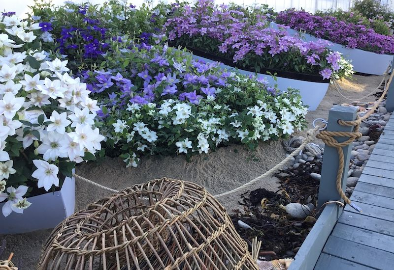 Chelsea clematis on show in Guernsey