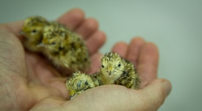 Record number of endangered plains-wanderer chicks born at Australian zoo