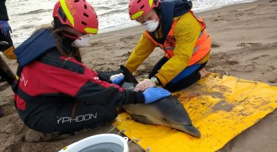 Two dolphins rescued from Scottish beach