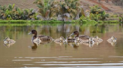 World's rarest ducks breed in the wild on Madagascan lake