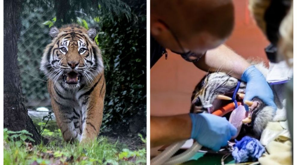 Brave dentist performs root canal on Sumatran tiger