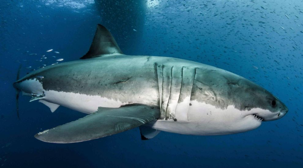 Great white shark's giant genome could help humans