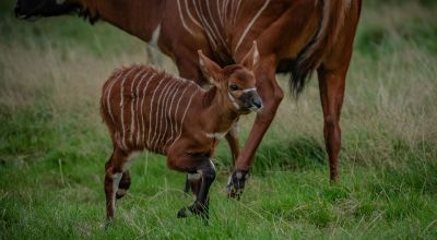 One of world's rarest mammals gives birth to 'beautiful' calf at Chester Zoo