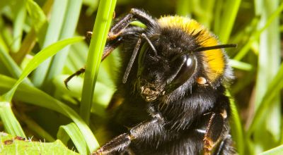Beware of queen bees under your feet, say scientists